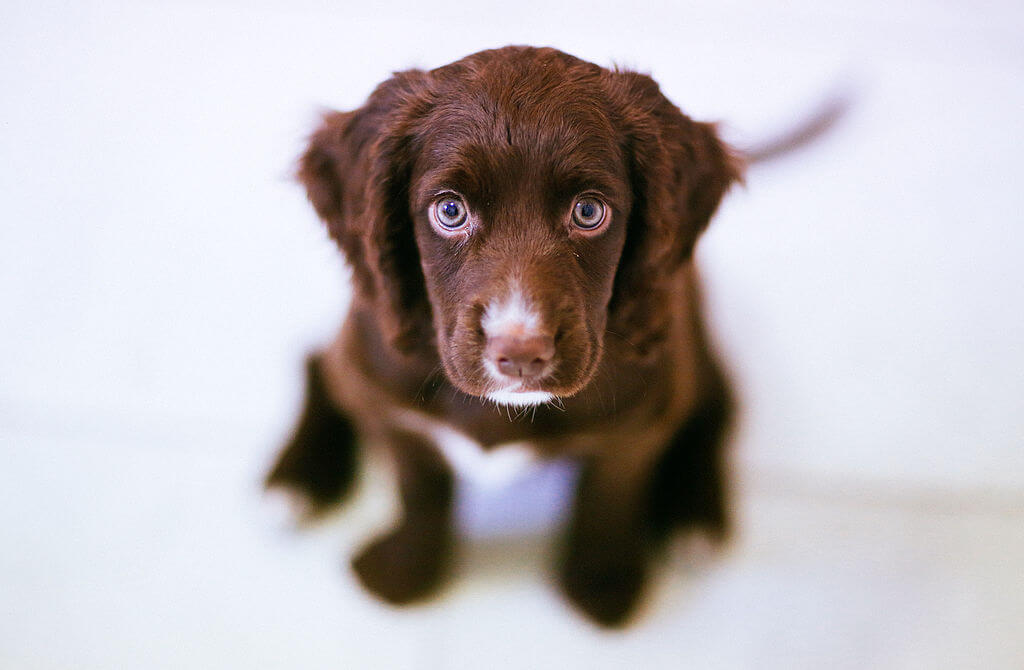 Brown puppy (9899551176)