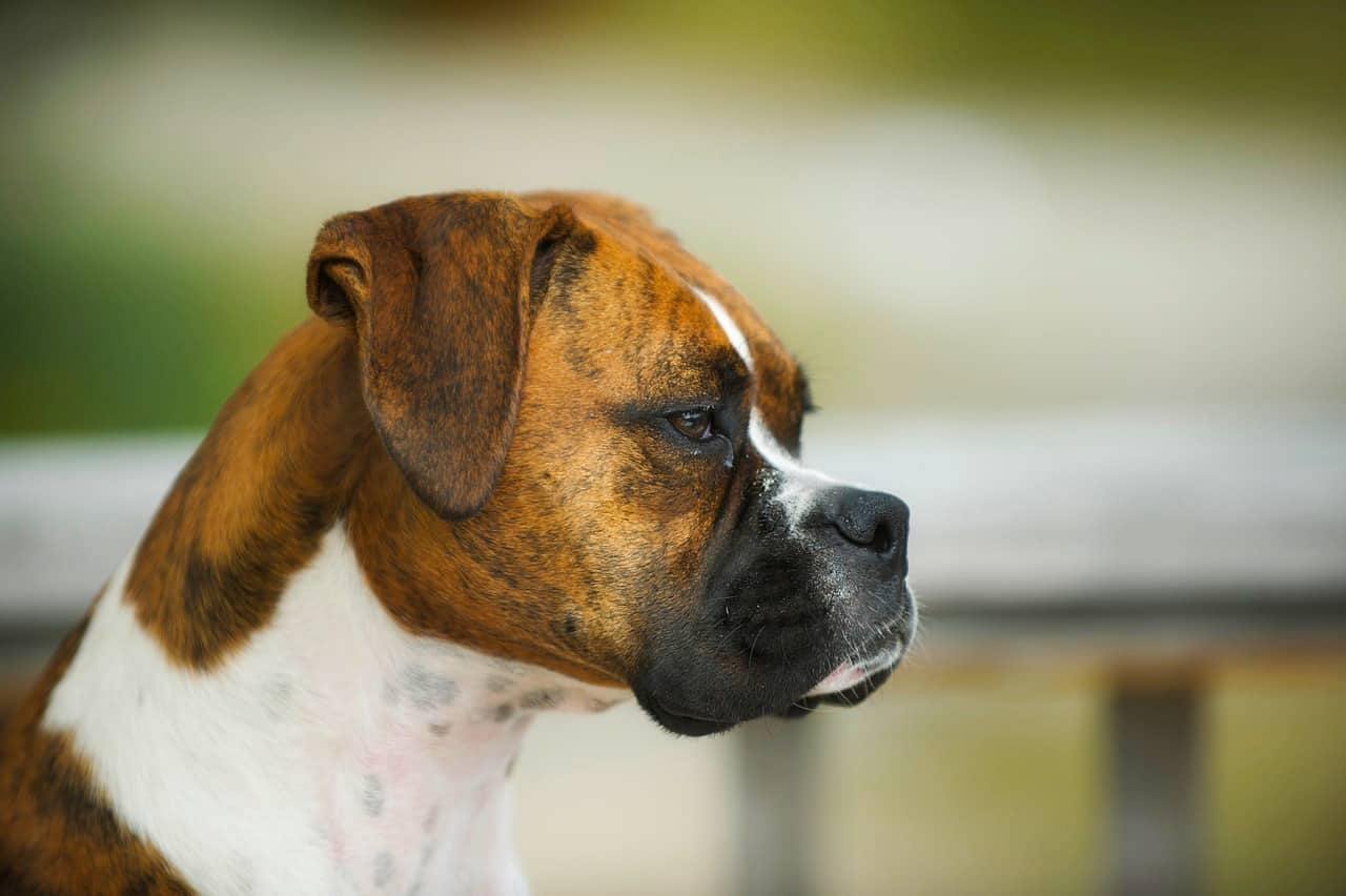 Boxer, Dog, Animal, Pet Closeup