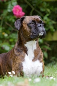 Boxer dog, Portrait Garden Brown